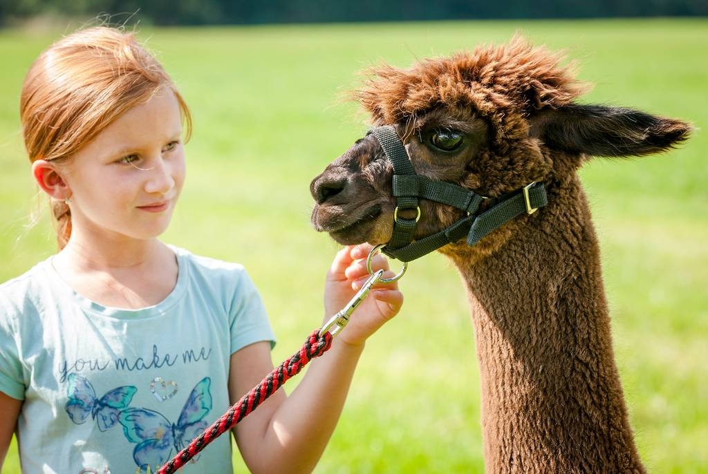 Eine wunderbare Erfahrung für Kinder und Erwachsene: Alpakas hautnah erleben - © Günter Standl - HUSSNHOF