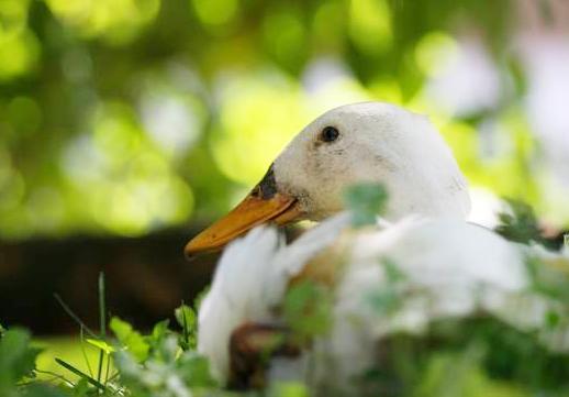 Ente im Garten