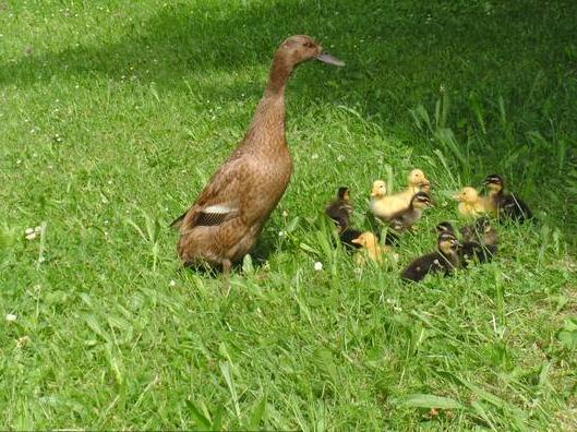 Entenfamilie beim Spaziergang