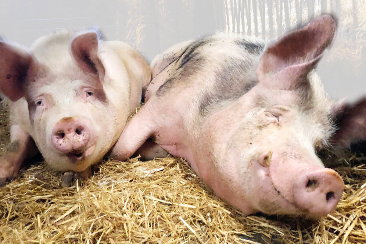Die Schweine fühlen sich sichtlich wohl - © Ferienhof Henning Ommen