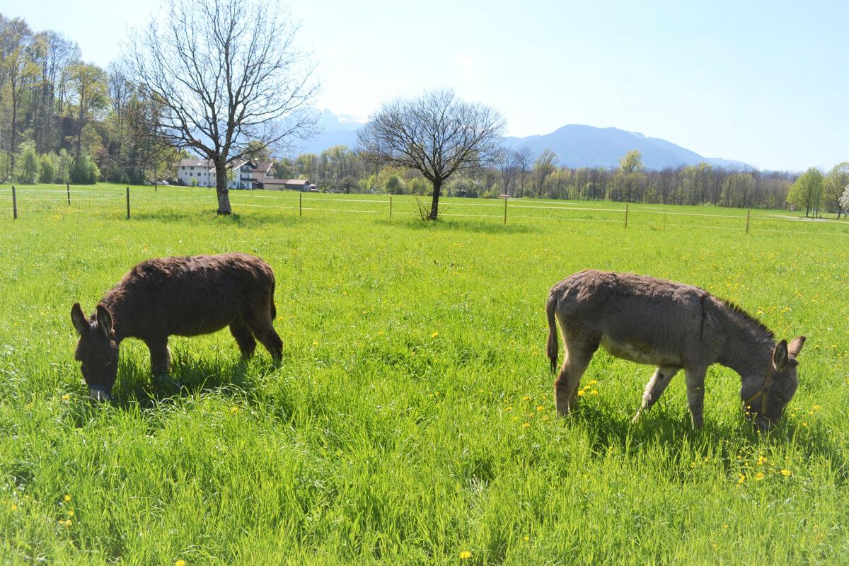 Esel auf der Wiese - © Niederauer Hof