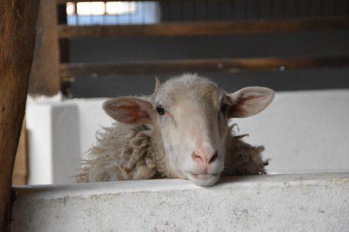 Schaf auf dem Ferienhof Maisidden