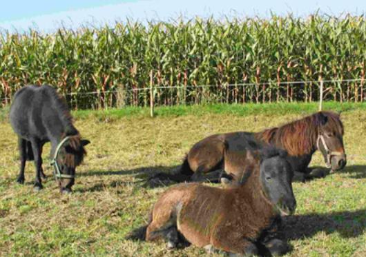 Teufelsberg-Ponies
