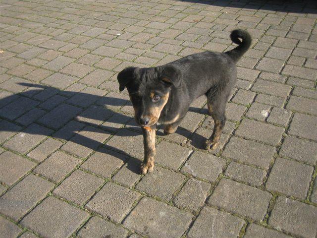 Hofhund Willi